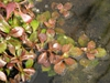Ludwigia palustris leaves