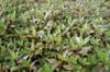 Ludwigia palustris leaves
