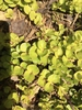 'Aurea' habit, spring, Durham County, NC