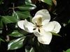 Magnolia grandiflora 'Kay Parris'