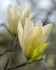 Elizabeth' flower'