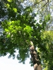 Magnolia fraseri
