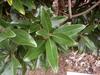'Alta' Leaf