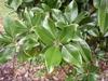 'Claudia Wannamaker' Leaf