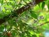 Melia azedarach 'Umbraculiformis'