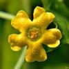 Melothria pendula, flower