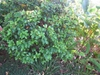 Michelia figo
