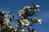 Michelia yunnanensis