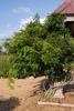 Millettia reticulata