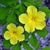 Momordica charantia, flower