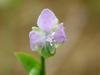Murdannia nudiflora flower