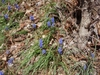 Muscari botryoides Flower and Form