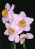 Narcissus (Paperwhites) - Tender III