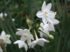 White Narcissus flowers.