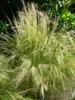 Nassella tenuissima - full plant Springs Preserve Garden NV