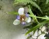 Trimezia gracilis in flower.