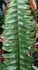 Nephrolepis exaltata leaf