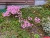Nerine bowdenii whole plant
