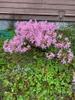 Nerine bowdenii in flower