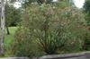 Nerium oleander Form
