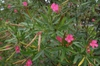 Nerium oleander Leaf and Flower