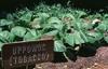 Nicotiana tabacum, N. alata