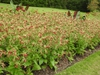 Nicotiana 'Baby Bella Antique Red' mass planting