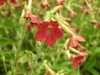 Nicotiana alata 'Baby Bella Antique Red'