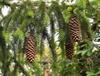 Norway Spruce cones (Picea_abies)