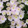 Oenothera berlandieri 'Siskiyou'