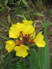 Oenothera tetragona