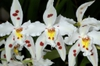 Oncidium alexandrae flowers