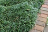 Ophiopogon japonicus 'Nana'