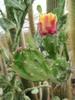 Opuntia Monacantha 'Variegata'