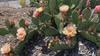 'Pina Colada' flowers