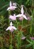 Pogonia ophioglossoides