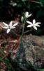 Ornithogalum umbellatum, O. thrysoides