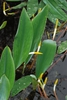 Leaves (Darlington County, SC)-Mid Spring