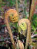 Osmunda cinnamomea