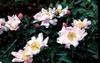 Paeonia hybrids
