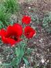 Tulipa fosteriana