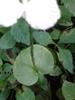 Stem Leaf