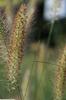 Cenchrus alopecuroides 'Hameln'