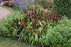 Pennisetum glaucum 'Jade Princess' Form