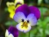 Pensamiento (Viola tricolor)