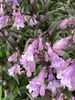 Penstemon