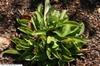 Basal leaves