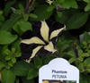 Petunia 'Phantom' Flower