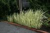 Planted along a walkway.