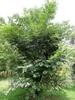 var. yunnanensis- form